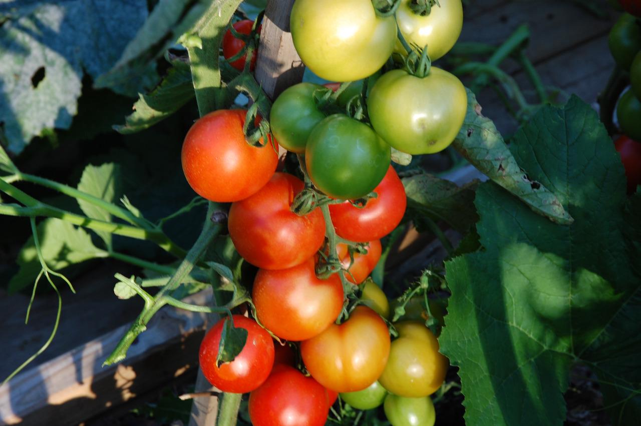 Balkonová rajčata