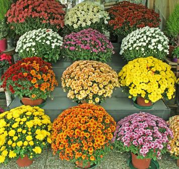 Podzimní chryzantémy