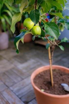 Ovocný stromek v květináči