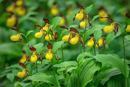 České orchideje