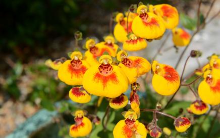 Calceolaria - pantoflíčky