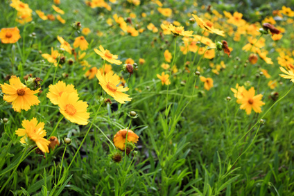 Calliopsis - Krásnoočko