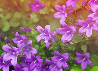 Květina zvonek